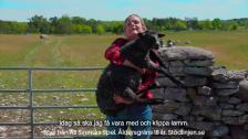 Keno♥Gotland - Lammklippning